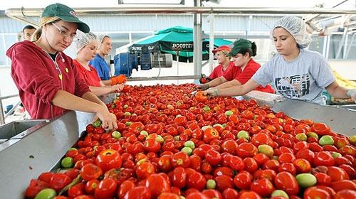 Apoyo a productores de tomate para nuevo acuerdo con EU: Sader- AMSDA
