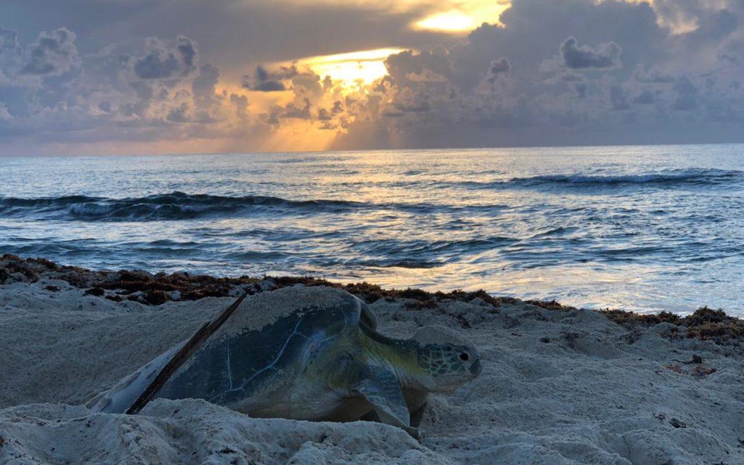 Sin precedentes incremento de anidación de tortuga marina en Cozumel