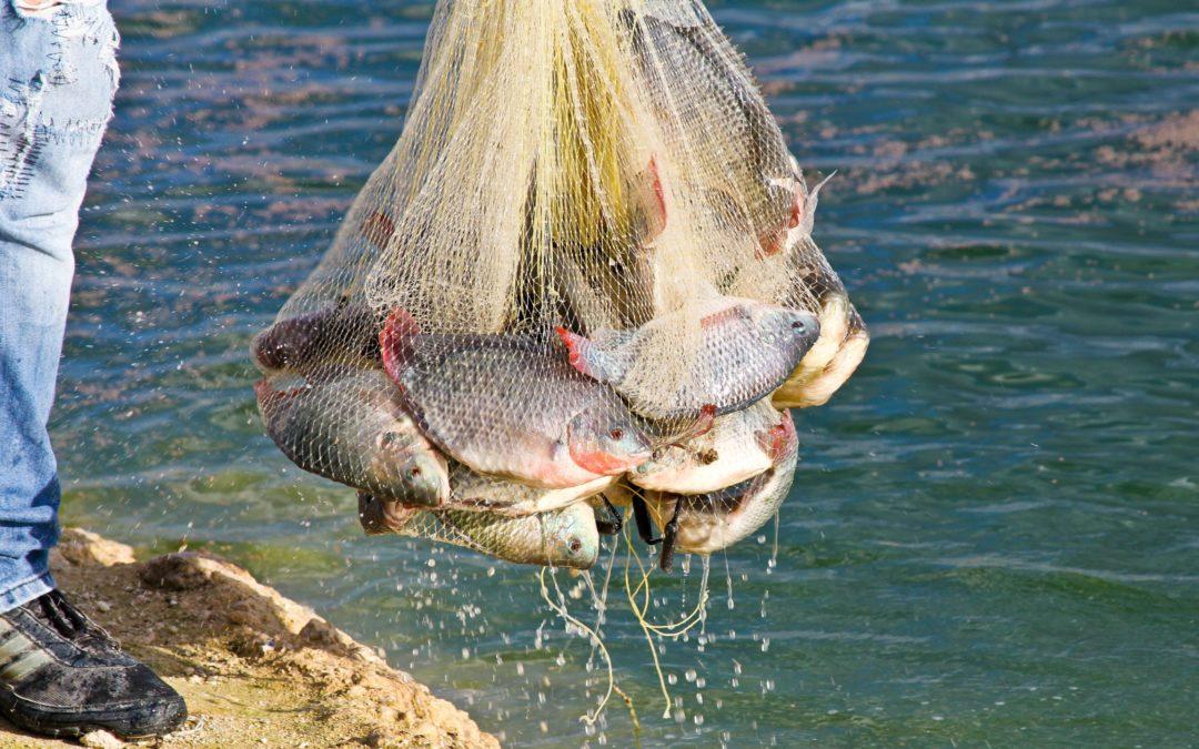 Siembra Conapesca un millón de crías de tilapia en presa el Comedero