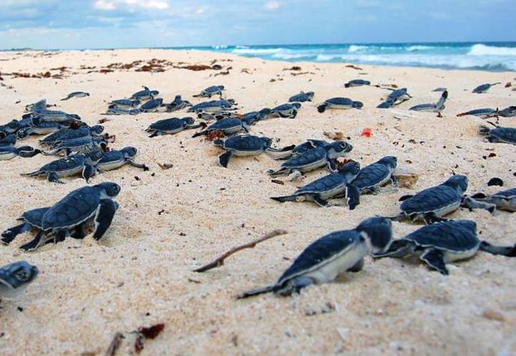 Tortuga marina, la gran beneficiada en Cozumel por la pandemia
