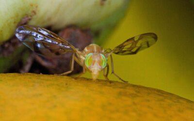 Activa Agricultura dispositivo para erradicar la mosca del Mediterráneo