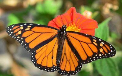 Abrirán Santuarios de Mariposa Monarca en Michoacán