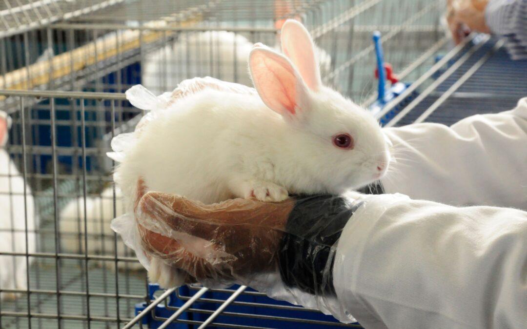 Inició vacunación a conejos en zonas afectadas por enfermedad viral