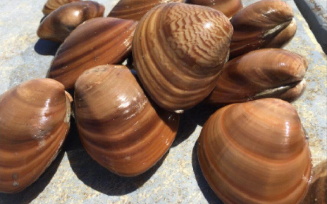 Anuncia Agricultura inicio de veda de almeja chocolata